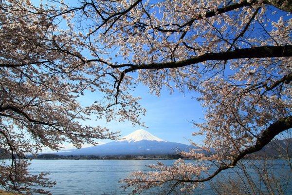 sakura_mount_fuji_kawaguchi_lake_yamanashi_japan