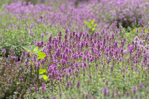 furano_lavender_season