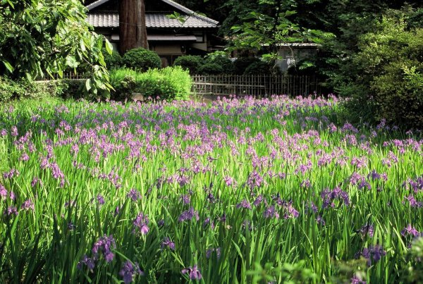 ota_shrine_iris_japan