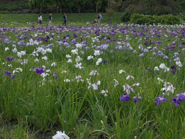 yokosuka_iris_garden