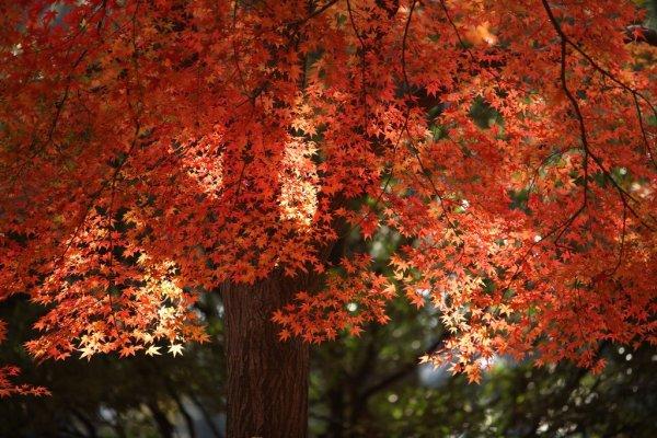 autumn_maple_leaves_tokyo