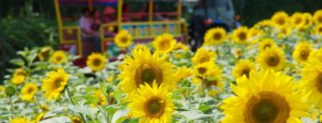 Sunflower Field in Hokuryu (Himawari no Sato)