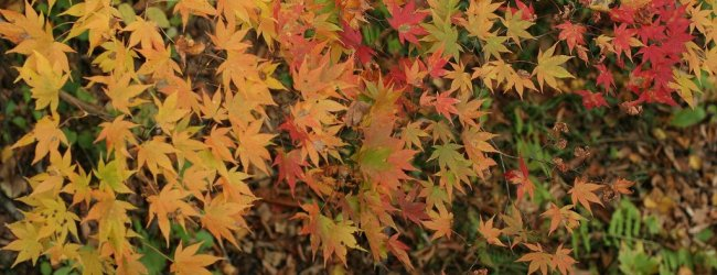 Autumn Leaves in Tohoku | Koyo Season 2020