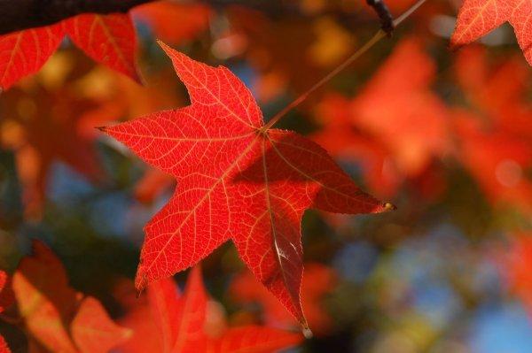 red_maple_autumn_foliage_japan