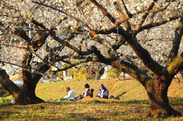 plum_blossoms_in_odawara_city