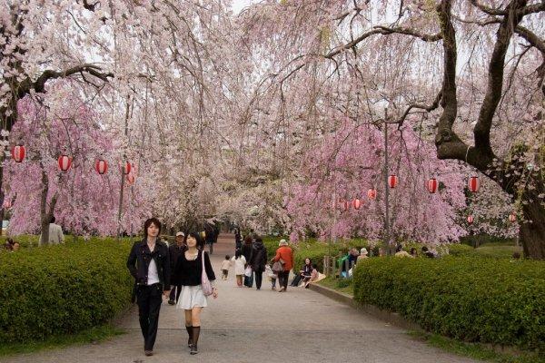 cherry_blossoms_tsutsujigaoka_park_in_miyagi