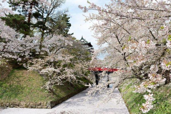 hirosaki_castle_cherry_blossom_aomori_japan