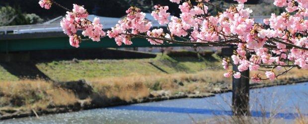 Kawazu Cherry Blossom Festival 2021 | Visit Shizuoka