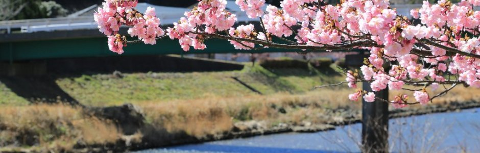 Kawazu Cherry Blossom Festival 2020 | Visit Shizuoka
