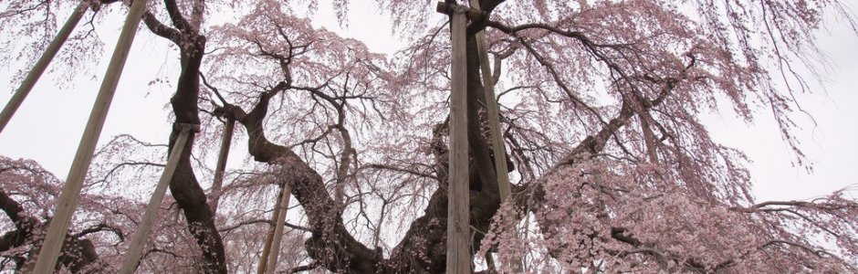 11 Famous Sakura (Cherry) Trees in Japan