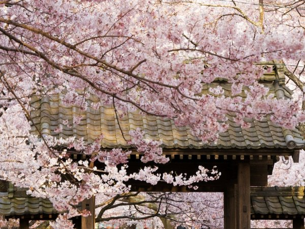 takato_castle_ruins_park_gate_with_sakura_blossoms