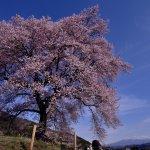 wanitsuka_sakura_tree_yamanashi_japan