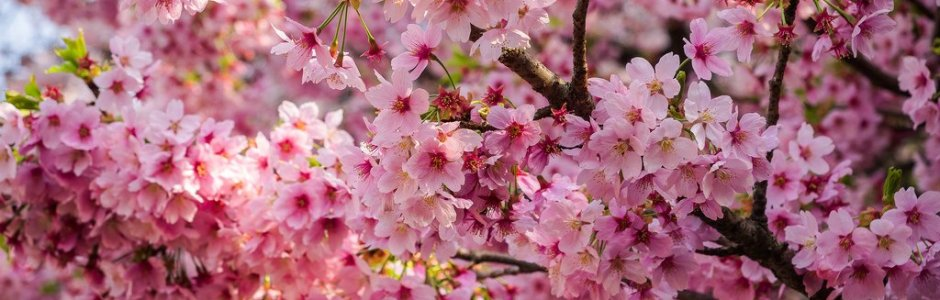 10 Most Popular Sakura Varieties in Japan