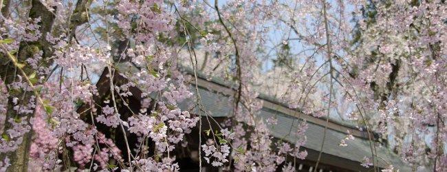 Kakunodate Cherry Blossom Festival 2020