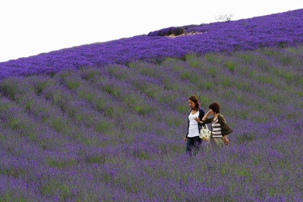 farm_tomita_lavender_nakafurano_hokkaido