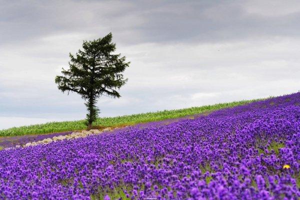 lavender_season_hokkaido