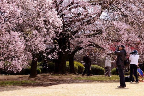 cherry_blossom_japan
