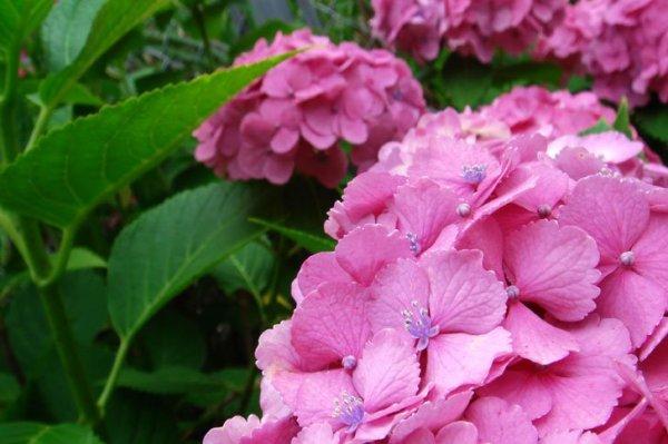 pink_hydrangea_joujuin_kamakura_japan