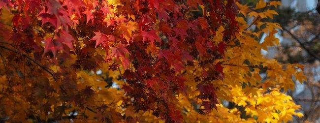 Autumn Leaves in Hokkaido | Japan Fall Season 2018