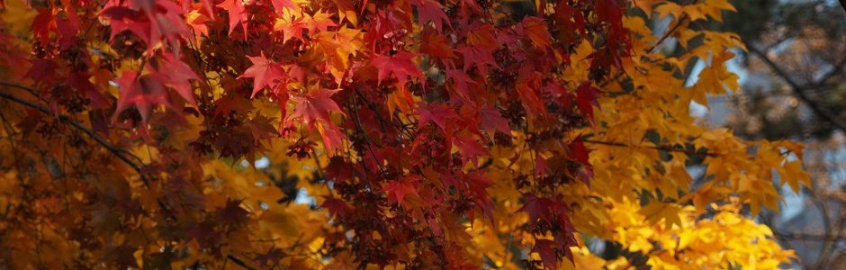 Autumn Leaves in Hokkaido | Japan Fall Season 2019