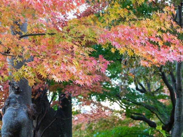hasedera_temple_maple_leaves