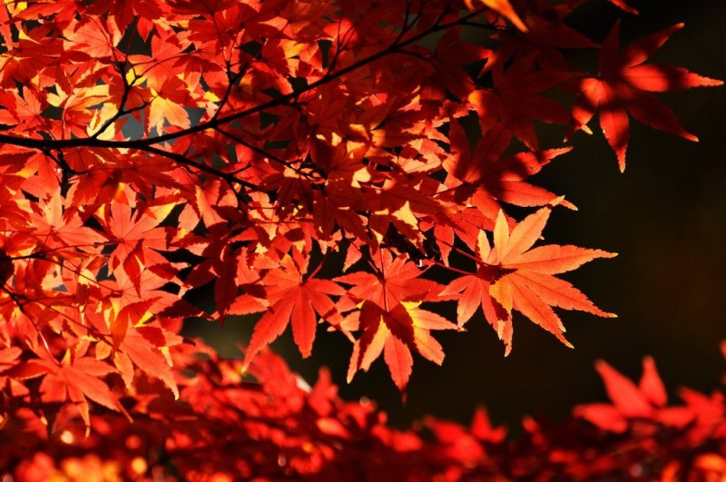 Japanese maple leaves wallpaper