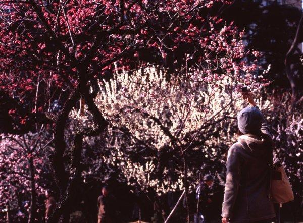 koishikawa_korakuen_plum_blossom