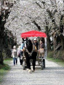 kitakami_tenshochi_park_hanami