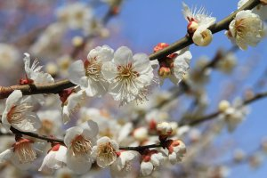 kyoto_imperial_palace_plum_blossoms