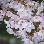 10 Best Places to See Cherry Blossom in Kyushu