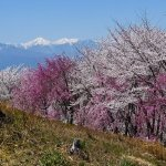 4 Best Places to See Cherry Blossom in Matsumoto