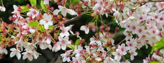 Spring in Sapporo   Travel Guide 2020