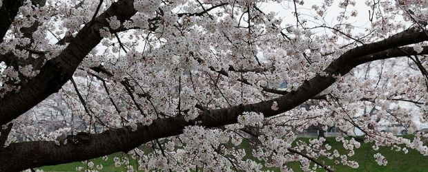 7 Best Places to See Cherry Blossom in Okayama