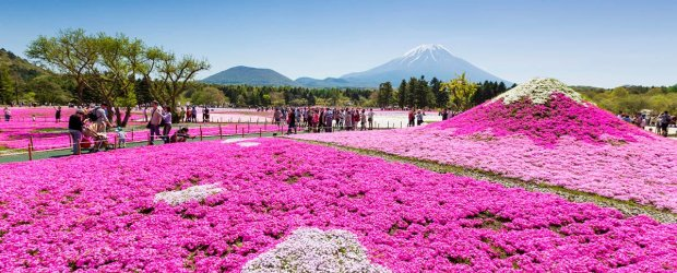 7 Best Places to see Shibazakura in Japan