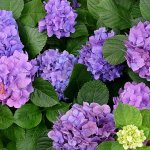 10 Best Places to see Hydrangea in Japan