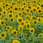 6 Beautiful Sunflower Fields in Japan
