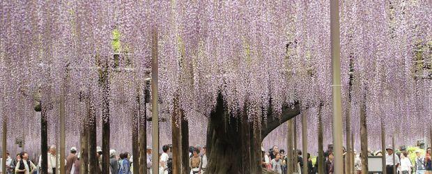 Ashikaga Flower Park | Visit Tochigi