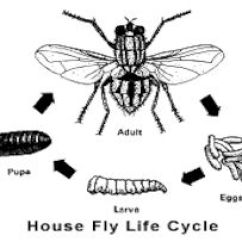 House Fly Anatomy Diagram Bulldog Security Wiring Diagrams Flesh Disease Transmitted Flies Can Carry Leprosy Bacilli And Transmit Intestinal Pseudomyiasis To People Who Eat The Larvae