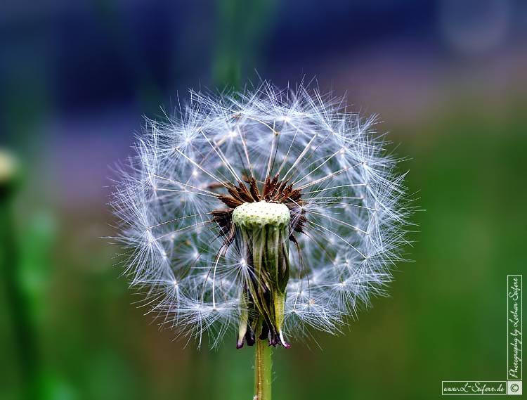 Pusteblume Die Fallschirme sind der Samen vom Lwenzahn