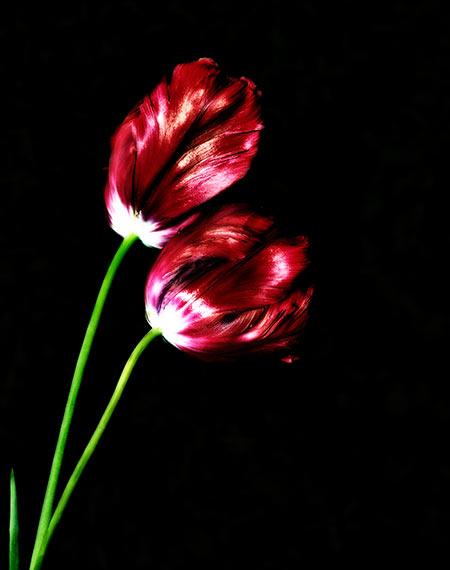 Rote Tulpe vor einem schwarzen Hintergrund freigestellt kostenlose Bilder Blumen