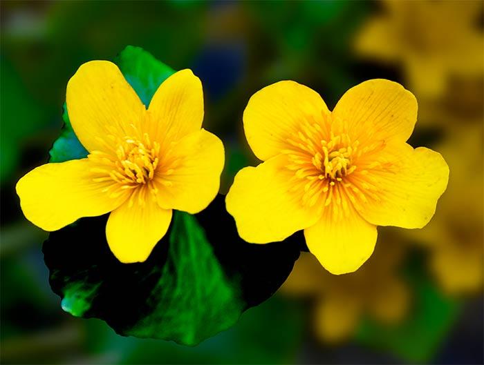 Sumpfdotterblumen heien auch Schmalzblume Butterblume Wiesengold oder Goldrose Kostenlose