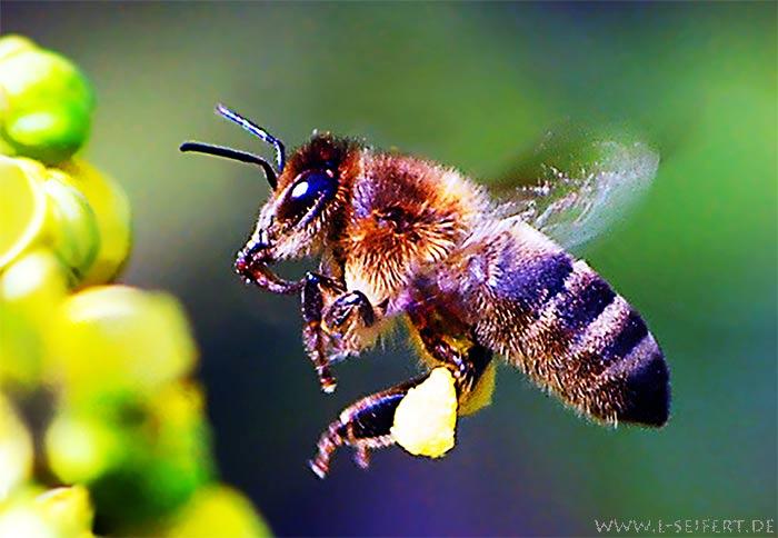 Biene beim Nektar sammeln Honigbiene Arbeiterin