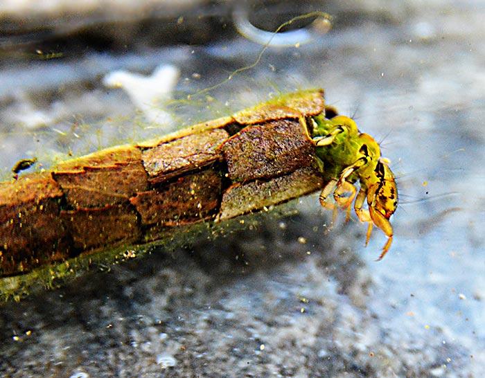 Kcherfliegen leben als Larven in selbstgebauten Rhren im Wasser InsektenBilder kostenlos