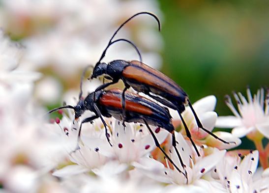 Grukarte Roter Schmalbock Bilder Glckwnsche Insekt Glckwnscheen senden Gre versenden