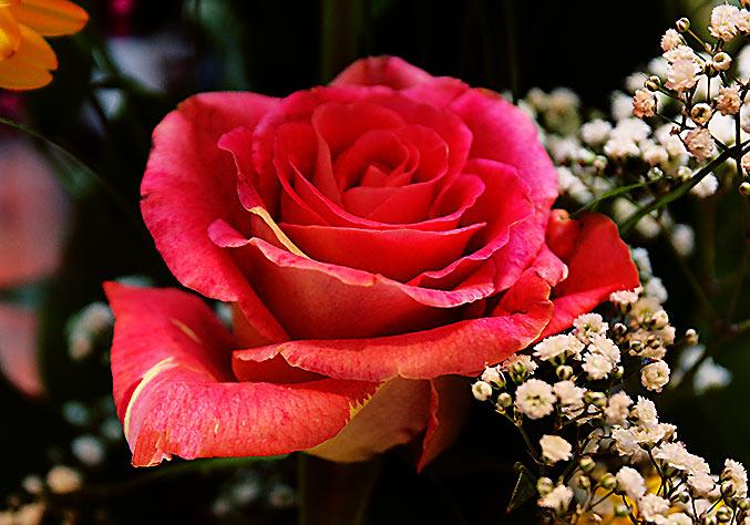Eine rote Rose ist ein herzliches Symbol fr die Liebe