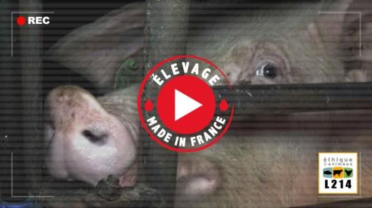 Enquête L214 : vidéo sordide élevage de cochons dans le Finistère