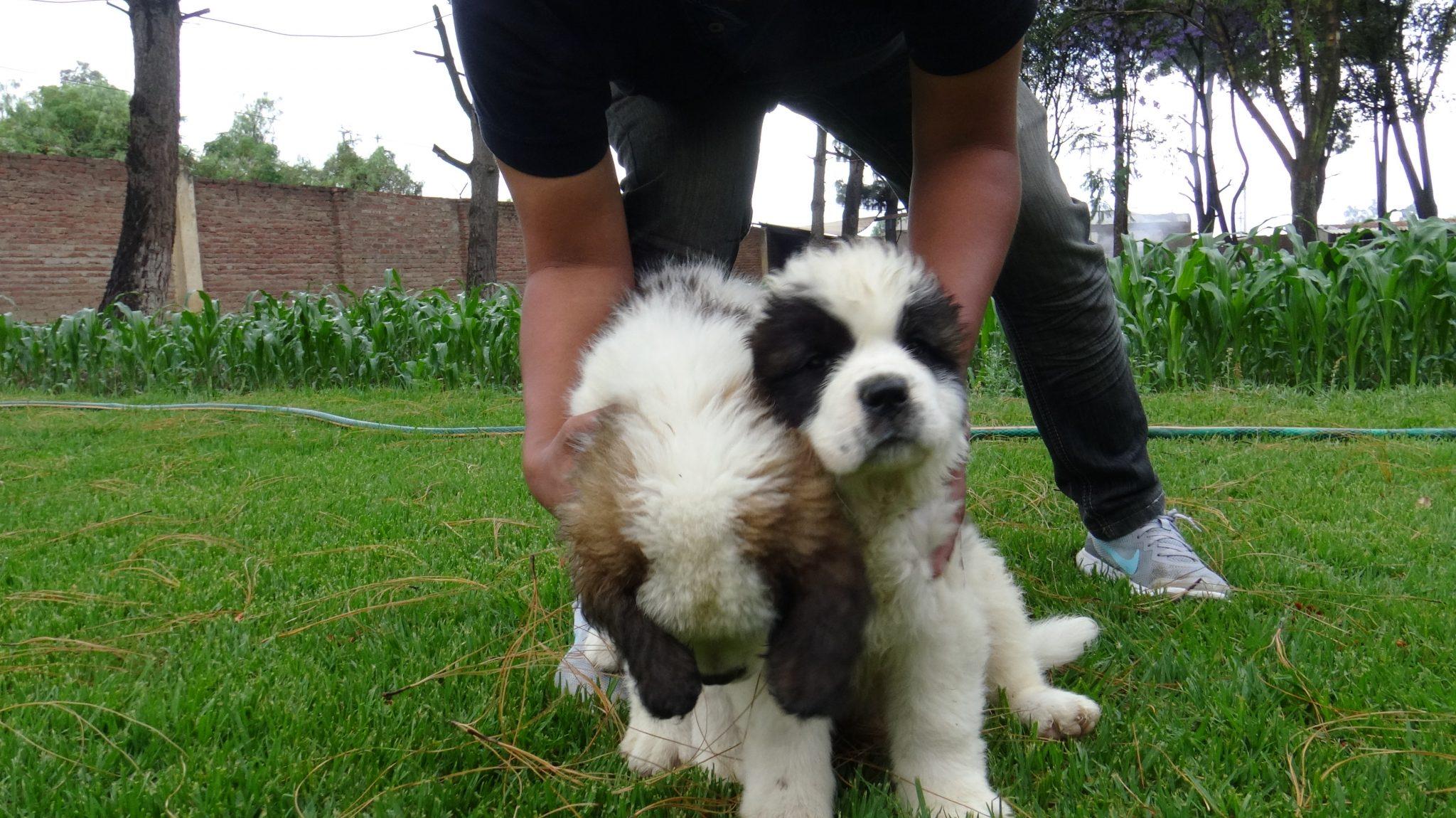 perros bolivia