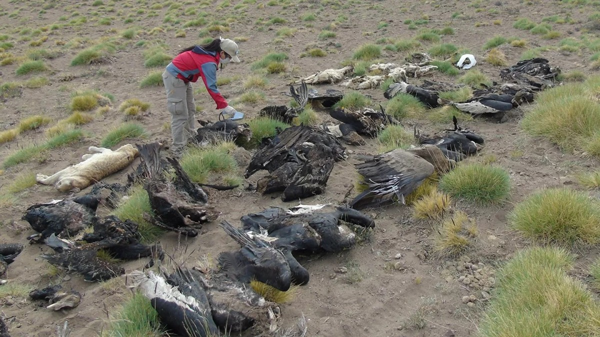 Cóndor muertos