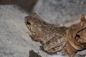 amphibien-Bufo sp