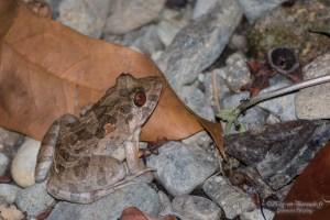 amphibien-Rana cancrivora ou limnocharis